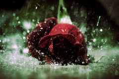 Rain Rose. Red rose laying on the sidewalk in the rain Stock Photos