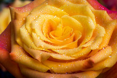 Rain rose. Beautiful yellow rose in the morning dew Stock Photography