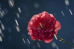 Rain & The Rose. Just a summer rain in the garden stock photography