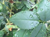 Rain on rose leaf. Green rosebush leaf covered in raindrops after a spring shower Royalty Free Stock Image