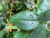 Rain on a rosebush. Raindrops on a rose leaf Royalty Free Stock Images