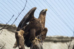 Rain in the sea. Golden eagle on a branch with spread wings in the bottom three-quarters Royalty Free Stock Images