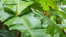Rain Season in Asia. Tropical Rain at Banana Palm Tree Plantation. Water Drops Falling on Banana Leaves. Thailand. stock video footage