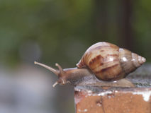 Rain snail. Snails in Taiwan rainy photography Royalty Free Stock Photography