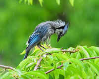 Rain Soaked bird Bluejay Stock Photo