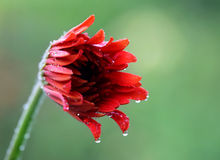 Rain soaked blooming Gerbera royalty free stock photo