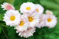Rain soaked Chrysanthemum Stock Image