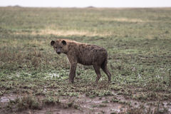 Rain Soaked Hyena Royalty Free Stock Images