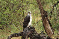 Rain-soaked immature Martial Eagle standing on dead tree stump. Rain-soaked immature Martial Eagle (Polemaetus bellicosus) standing on dead tree stump in Kruger stock image