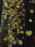Maple leaves in the gutter royalty free stock photo