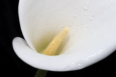 Rain-spattered white arum lily against black background Royalty Free Stock Photography