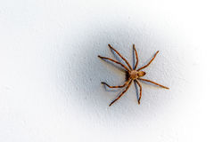 Rain Spider climbing up a white stucco wall. On a house in Montagu in the Western Cape province of South Africa Stock Photos