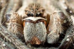 Rain spider (Palystes superciliosus) Stock Image