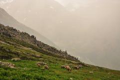 Rain storm in the Italian Alps. Grazing ibex Stock Images