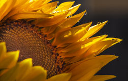 Rain in summer time, sunflower enjoying there short time Stock Photography