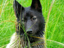 After a rain. The summer rain wetted a hunting dog husky Royalty Free Stock Images
