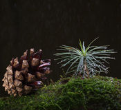 Rain and tiny fir tree Royalty Free Stock Images