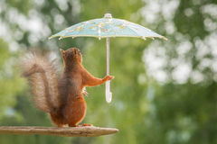 Rain to come. Red squirrel holding a umbrella Stock Photos