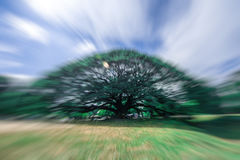 Rain tree with blur zoom. Zoom blur technic with big rain tree Royalty Free Stock Photography