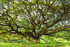 Rain tree Stock Photography