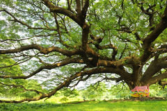 Rain tree Royalty Free Stock Image