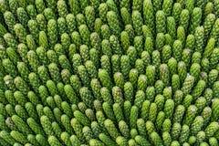 The Rain Tree, East Indian Walnut, The Monkey Pod, Juniperus chinensis L. (needle pine leaf Stock Images