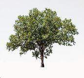 Artistic dwarf of green tree isolated on white background royalty free stock photography