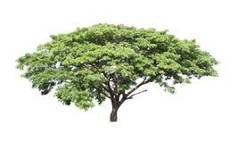 Rain tree (Samanea saman) Stock Photos