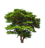 Rain tree (Samanea saman) Royalty Free Stock Photo