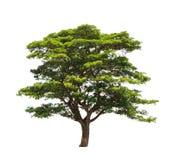Rain tree (Samanea saman) Royalty Free Stock Photography