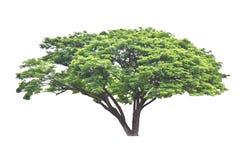 Rain tree (Samanea saman), tropical tree in the northeast of Tha Stock Photo