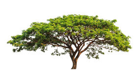 Rain tree (Samanea saman) Stock Images