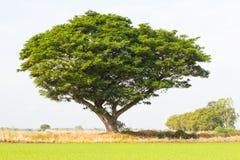 Rain tree sprawling green rice. Royalty Free Stock Photos