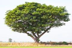 Rain tree sprawling green rice. Stock Images