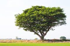 Rain tree sprawling green rice. Stock Photo