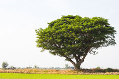 Rain tree sprawling green rice. Stock Photos
