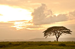 Rain tree on the sunset background Royalty Free Stock Images