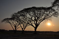 Rain tree and sunset Royalty Free Stock Image