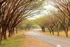 Rain Tree Tunnel Royalty Free Stock Photo