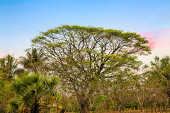 Rain trees tropical tree Stock Photography
