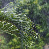 Rain in the tropics. Palm frond under a tropical rain. Thailand Stock Images