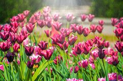 Rain on tulip of purple color in garden royalty free stock photo