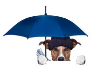 Rain umbrella dog Stock Photo