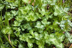 Rain-washed Clover Royalty Free Stock Image