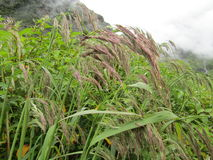 Rain washed Garhwal Reedgrass in Valley of Flowers. Valley of flowers is known for its trek and variety of plants and flowers, mostly rare blooming at an Royalty Free Stock Photography