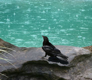Rain Water. Black bird overlooking aqua pond on a rainy day. Shot with Canon 20D stock photography