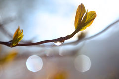Rain water drop on Maple tree branch Stock Images