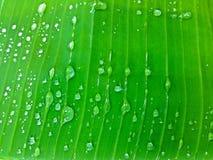 Rain water drops on banana tree leaf Stock Photography