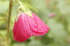 Rain water drops on crimson flower petals.  Stock Image