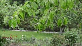 Rain water drops fall on apple fruit tree twig leaves in garden. Rain water drops fall on apple fruit tree branch twig leaves in spring garden stock footage